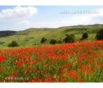 Mountain flowers in Uzbekistan